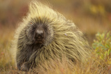 Porcupine (Erethizon Dorsatum) on Tundra North Slope  Alaska  USA September