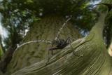 Great Capricorn Beetle (Cerambyx Cerdo)