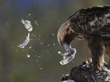 Golden Eagle (Aquila Chrysaetos) Plucking Capercaillie (Tetrao Urogallus) Kuusamo  Finland  April