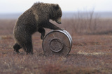 Young Female Kamchatka Brown Bear (Ursus Arctos Beringianus) Playing with Oil Drum