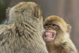 Barbary Macaque (Macaca Sylvanus) Baring Teeth as a Sign of Submission