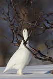 Willow Grouse - Ptarmigan (Lagopus Lagopus) Pecking Twig  Utsjoki  Finland  April