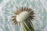 Dandelion (Taraxacum Officinale) Seed Head  Close  Norfolk  England  UK  May