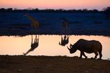 Angolan Giraffes (Giraffa Camelopardalis Angolensis) and Black Rhinoceros (Diceros Bicornis)
