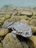 Titicaca Water Frog (Telmatobius Culeus) Underwater Resting on the Lake Bed  Lake Titicaca  Bolivia