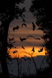 Straw-Coloured Fruit Bats (Eidolon Helvum) Returning To Daytime Roost At Dawn Papier Photo par Nick Garbutt