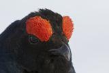 Male Black Grouse (Tetrao - Lyrurus Tetrix) Portrait  Utajarvi  Finland  May