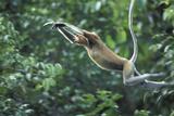 Proboscis Monkey  Male Leaping across River (Nasalis Larvatus) Kinabatangan  Sabah  Borneo