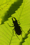 Stag Beetle (Lucanus Cervus) Male Silhouetted Against Leaf  Controlled Conditions