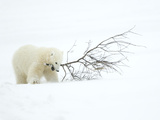Polar Bear (Ursus Maritimus) Cub Playing with Branch Churchill  Canada  November