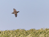 Common Quail (Coturnix Coturnix) Flying over Field  Spain  May