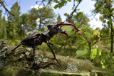 Stag Beetle (Lucanus Cervus) Male on Oak Tree Elbe  Germany  June
