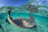 Split Level Image of a Southern Stingray (Dasyatis Americana) Swimming over a Sand Bar Papier Photo par Alex Mustard