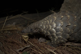 Cape Pangolin (Smutsia Temminckii) Foraging at Night South Luangwa National Park  Zambia