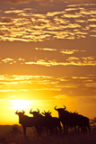 Blue Wildebeest (Connochaetes Taurinus) Herd Silhouetted Against the Rising Sun with Clouds