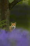 Red Fox (Vulpes Vulpes) Peering from Behind Tree with Bluebells in Foreground  Cheshire  June