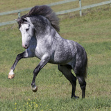 Gray Andalusian Stallion Running  Ojai  California  USA