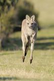 Eastern Grey Kangaroo (Macropus Giganteus) Bounding Papier Photo par Dave Watts