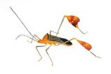 Flag-Footed Bug (Anisocelis Flavolineata) Gamboa  Panama Meetyourneighbours Net Project