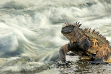Marine Iguana (Amblyrhynchus Cristatus) on Rock Taken with Slow Shutter Speed to Show Motion