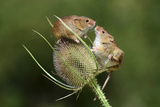 Harvest Mice (Micromys Minutus) on Teasel Seed Head Dorset  UK  August Captive