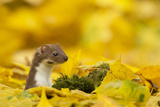Weasel (Mustela Nivalis) Head and Neck Looking Out of Yellow Autumn Acer Leaves