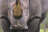 White Rhinoceros (Ceratotherium Simum) Close Up Portrait  Imfolozi National Park  South Africa