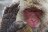 Japanese Macaque (Macaca Fuscata) Sleeping at Hot Spring in Jigokudani