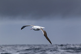 Southern Royal Albatross (Diomedea Epomophora) Flying over Sea