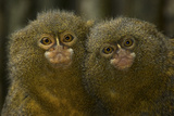 Two Pygmy Marmosets (Cebuella Puygmaea) Captive
