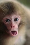 Japanese Macaque (Macaca Fuscata) One Month Old  Jigokudani  Joshinetsu Kogen Np  Nagano  Japan