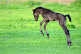 Five Day Old Purebred Andalusian Foal (Equus Caballus) Playing in a Field  Alsace  France  May