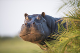 Hippopotamus (Hippopotamus Amphibius) Out of the Water  Peering around Vegetation