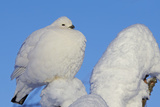 Willow Grouse - Ptarmigan (Lagopus Lagopus) Fluffed Up Perched in Snow  Inari  Finland  February