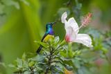 Variable Sunbird (Nectarinia Venusta) Adult Male on Hibiscus Flower  Nairobi  Kenya