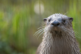 North American River Otter (Lutra Canadensis) Captive, Occurs in North America Papier Photo par Edwin Giesbers