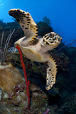 Hawksbill Turtle (Eretmochelys Imbricata) on a Reef Wall with a Rope Sponge