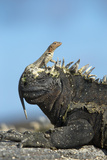 Marine Iguana (Amblyrhynchus Cristatus) on Rock with Lava Lizard Sitting on its Head