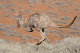 Hill Wallaroo (Macropus Robustus) Jumping  Flinders Ranges National Park  South Australia  Australi