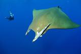 Scuba Diver with Devilray (Mobula Tarapacana)