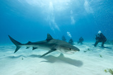 Scuba Diver and Tiger Shark (Galeocerdo Cuvier) Northern Bahamas  Caribbean Sea  Atlantic Ocean