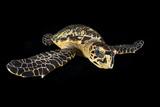 Hawksbill Turtle (Eretmochelys Imbricata) Swimming at Night