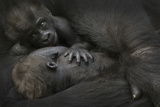 Western Lowland Gorilla (Gorilla Gorilla Gorilla) Twin Babies Age 45 Days
