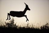 Impala (Aepyceros Melampus) Leaping