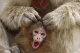 Japanese Macaque - Snow Monkey (Macaca Fuscata) Mother Grooming Four-Day-Old Newborn Baby