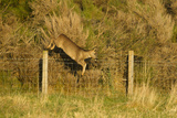 Roe Deer (Capreolus Capreolus) Doe Jumping Stock Fence  Scotland  UK  November 2011