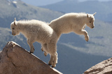 Juvenile Rocky Mountain Goats (Oreamnos Americanus) Playing on the Top of a Rocky Outcrop