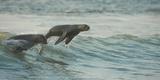 South African Fur Seals (Arctocephalus Pusillus Pusillus) Surfing Out on Wave Walvisbay  Namibia