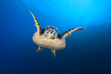 Hawksbill Turtle (Eretmochelys Imbricata) Cruising Along the Drop Off of a Coral Reef