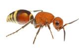 Velvet Ant (Dasymutilla Quadriguttata) Oxford  Mississippi  USA Meetyourneighbours Net Project
